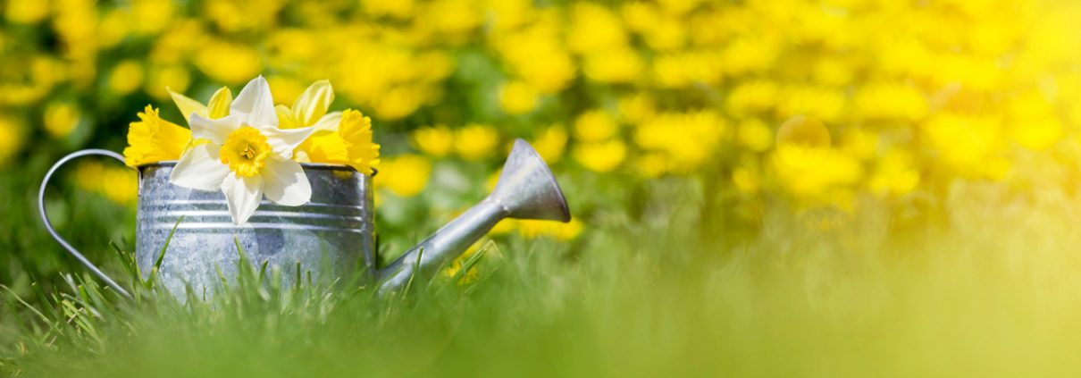 Watering can on a lawn with daffodils